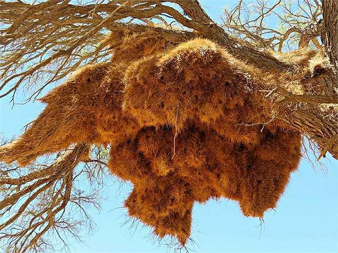 Lấy nguyên liệu từ cỏ và củi khô, nhiệt độ trong tổ cao hơn bên ngoài giúp chúng giữ ấm cơ thể vào ban đêm