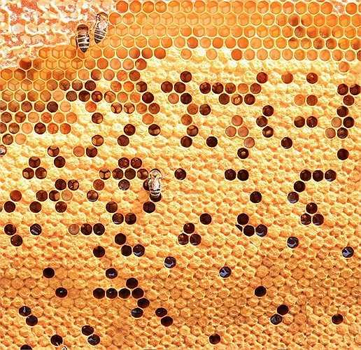 Hầu như toàn bộ cuộc sống của loài ong mật đều xoay quanh tổ của chúng, chúng 'nấu ăn' và nuôi dạy những 'đứa trẻ' trong chiếc tổ ấy