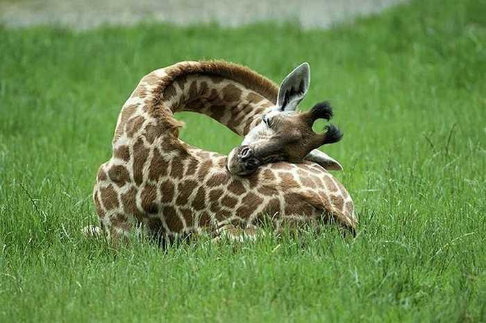 Chú hươu cao cổ uốn chiếc đầu thành hình tròn để ngủ ngon lành trên bãi cỏ. Đây là loại động vật có vú ngủ ngắn nhất, chỉ nửa tiếng mỗi ngày