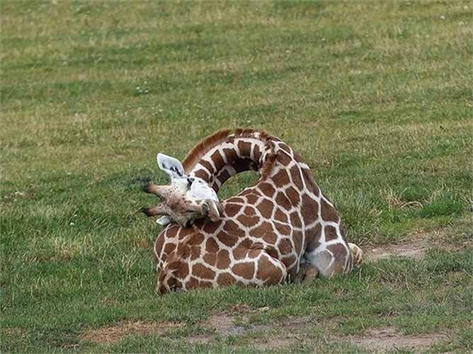 Hươu cao cổ có thể đứng ngủ nhưng rất ít. Chiều cao hươu cao cổ đực có thể lên đến 5,4m, còn hươu cao cổ cái có thể cao 4,2m