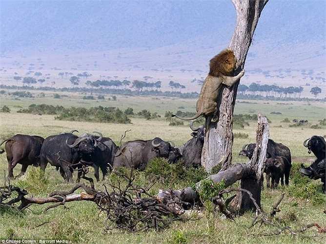 Hình ảnh chụp được ở khu bảo tồn quốc gia Maasai Mara, Kenya cảnh sư tử trèo lên cây tránh đàn trâu rừng ở dưới