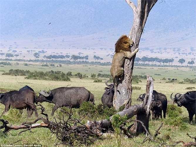Con sư tử hùng dũng trên đồng cỏ châu Phi đã tỏ ra sợ hãi, bảo vệ tính mạng bằng cách leo lên cây khi đàn trâu hùng hổ tiến đên