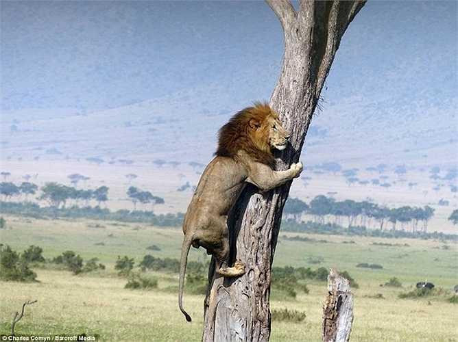 Trâu rừng với sức mạnh và cặp sừng nhọn hoắt sẵn sàng chiến đấu húc thẳng vào sư tử