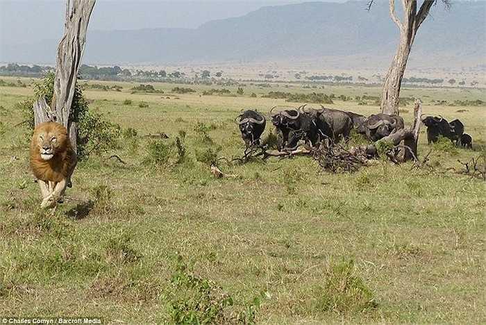 Theo lời tác giả bức ảnh, sư tử bám một lúc trên cây nhưng không thể tiếp tục trụ thêm đành xuống đất khi đàn trâu tản ra