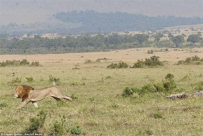 Sau đó, sư tử chạy thẳng vào rừng và biến mất. Đàn trâu vây quanh 1 con non để bảo vệ chúng trước sự ghê gớm của sư tử