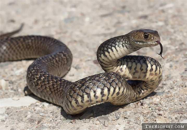 10. Rắn Australia.Có khoảng 140 loại rắn sinh sống trên lãnh thổ quốc gia Châu Đại dương này. Tình trạng bị rắn cắn khá phổ biến và có khoảng 4 – 6 mất mạng hàng năm vì nọc độc của chúng.