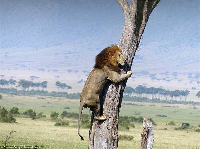 Sư tử ban đầu định nấp trong cỏ để săn trâu non