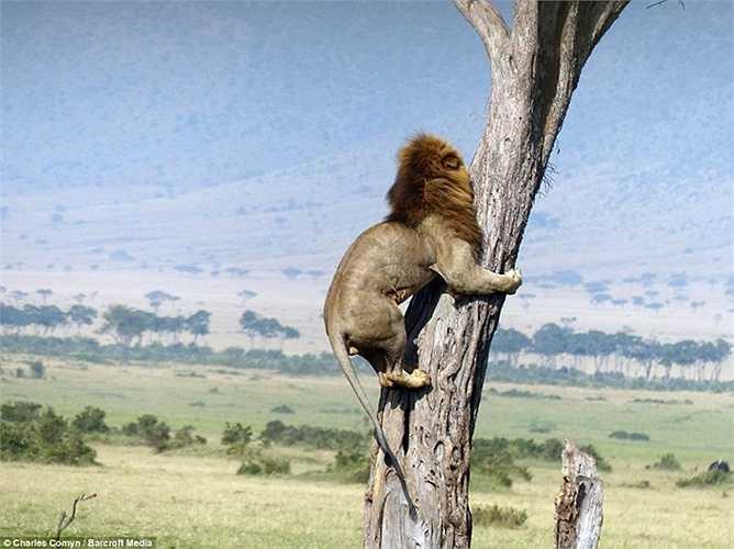 Tuy nhiên nó bị phát hiện và phải trèo lên cây để trốn