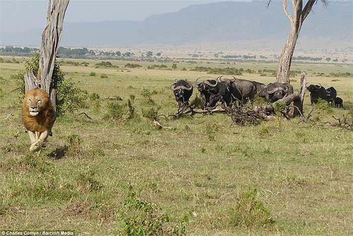 Sau khi tụt từ trên cây xuống, sư tử nhanh chóng tìm cách tẩu thoát