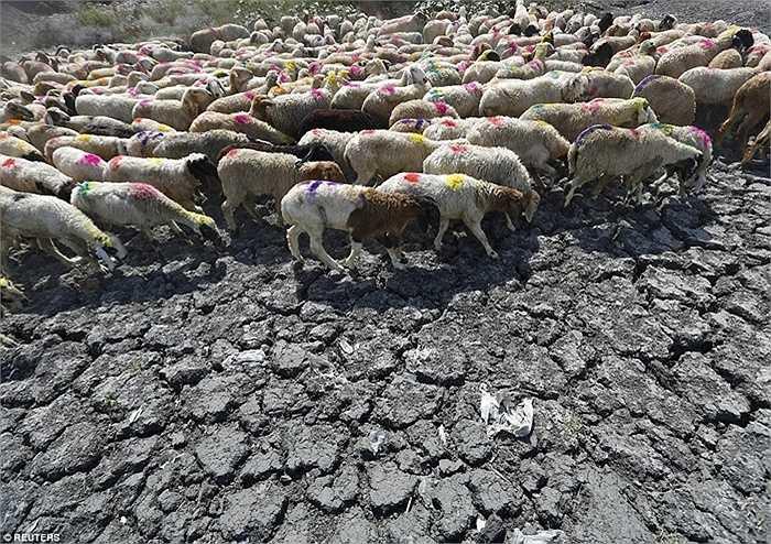 Đàn cừu ở miền Nam Ấn Độ sẽ còn phải tiếp tục chống chọi với nắng gắt đến hết tuần sau