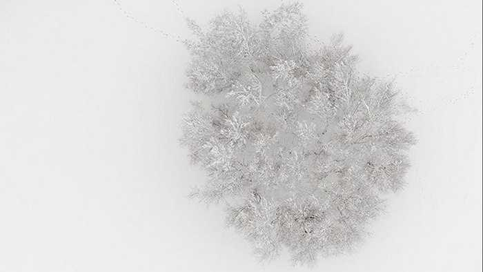 Một quần thể cây bị tuyết phủ trắng nhưng vẫn có dấu chân con người.