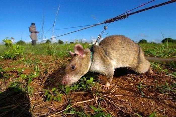 Chuột có túi Gambia là loài chuột khổng lồ nhất trong tự nhiên, có chiều dài lên tới 92cm (cả đuôi) và nặng hơn 4kg và chiếc răng cửa dài gần 3cm khiến chúng trở thành ác mộng đối với mọi loài mèo.