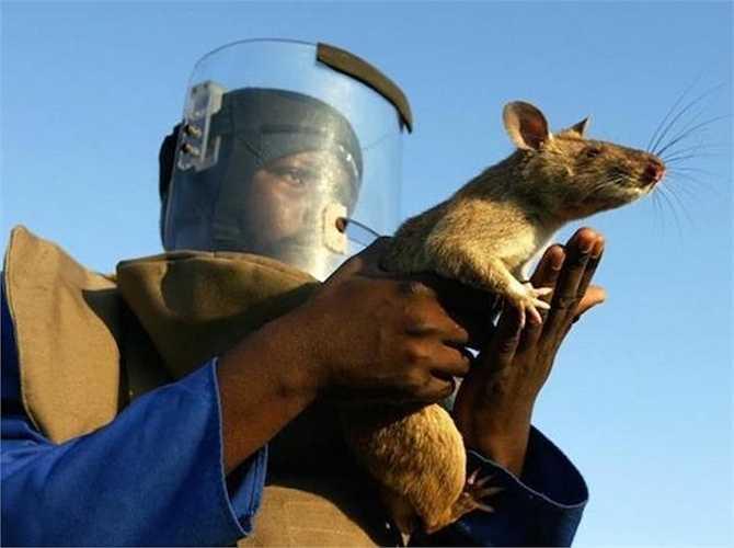 Chuột Gambia được sử dụng một cách hiệu quả trong quân đội Tanzania và Mozambique để dò mìn ở hai nước này. Quân đội Mỹ cũng đã bắt đầu quan tâm đến khả năng sử dụng chúng để phát hiện các loại mìn khác nhau.