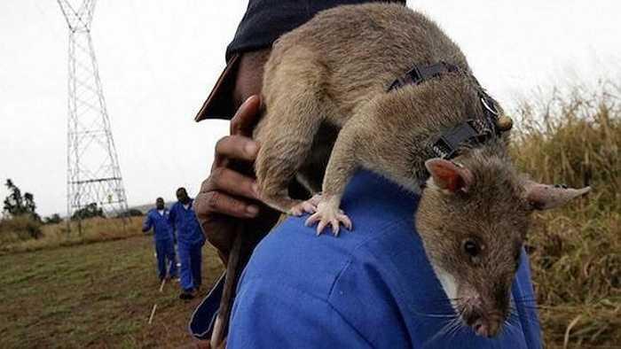 Việc huấn luyện chuột làm công tác rà phá bom mìn do Tổ chức phi chính phủ APOPO thuộc vương quốc Bỉ tiến hành đầu tiên. Hiện tổ chức APOPO đang gặt hái được nhiều thành công ở một số nước châu Phi.