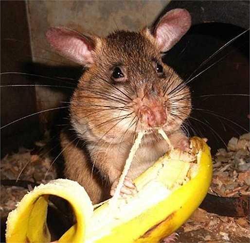 Để duy trì phản xạ có điều kiện cho chuột túi Gambia, các chuyên viên dò, gỡ mìn phải thường xuyên huấn luyện phản xạ cho chúng và chỉ cho ăn các thức ăn được chọn lọc kỹ lưỡng.