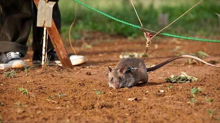 Chuột được buộc vào một sợi dây dẫn lơ lửng giữa 2 bộ xử lý. Sau đó, chúng được tung ra để quét một khu vực được cho là có nguy hiểm, và sẽ đào bới mặt đất khi chúng gửi thấy mùi thuốc nổ.