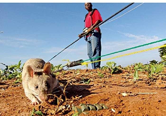 Thực tế hoạt động tại các bãi mìn, chuột túi Gambia rất nhạy bén và làm việc rất trật tự. Hai con chuột túi Gambia, trong vòng một giờ có thể dò hết một bãi mìn có bán kính rộng tới 200m2, trong khi đó, con người phải cần đến hai giờ.