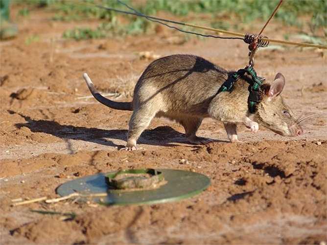 """Hơn nữa, trọng lượng của các chú chuột """"công binh"""" này lại nhẹ, chỉ vào khoảng 3-4kg, do đó dưới trọng lượng của chúng, mìn không bị kích nổ."""