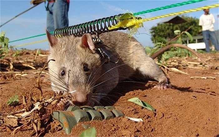 Chuột cũng có thể được sử dụng để tìm kiếm người bị nạn dưới các đống đổ nát của các tòa nhà và thậm chí cả cho việc chẩn đoán các bệnh khác nhau, bao gồm cả bệnh lao bằng cách cho ngửi mùi.