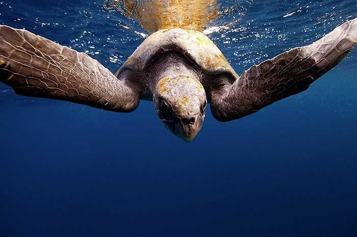 Rùa biển chúi đầu về phía máy ảnh ở vùng biển Bahía Magdalena, Mexico
