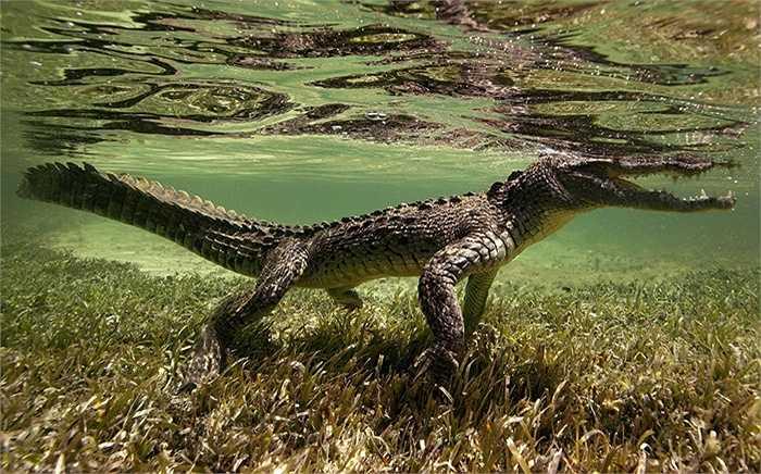 Cá sấu nước mặn đi tìm mồi