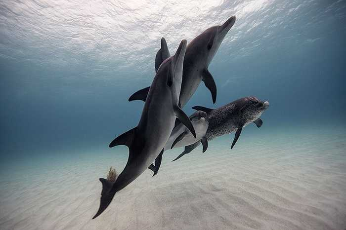Đàn cá heo di chuyển ở vùng biển Bahamas