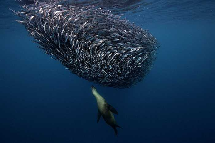 Hải cẩu đi săn đàn cá ở Bahía Magdalena, Mexico