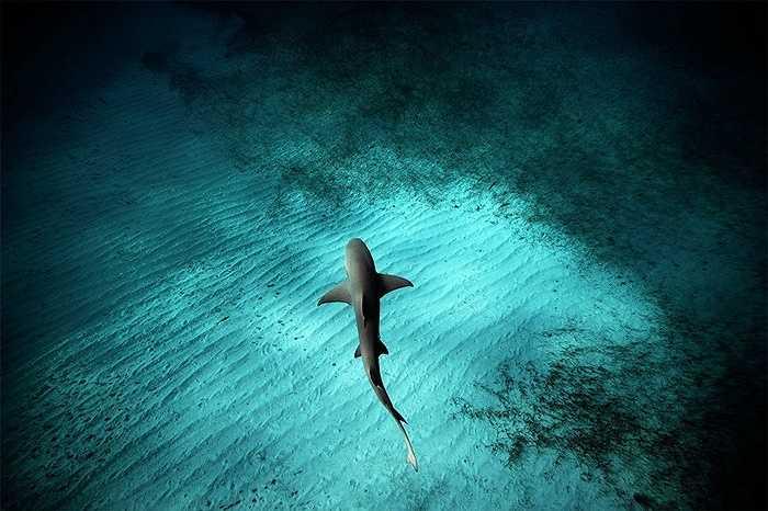 Cá mập chanh trườn gần đáy nước