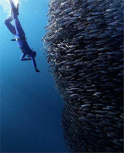 Thợ lặn tiếp cận một đàn cá khổng lồ