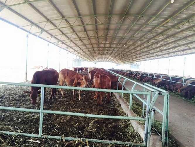 Với diện tích mỗi trại trung bình là 1.500 ha, có thể nuôi được khoảng 15.000 con bò