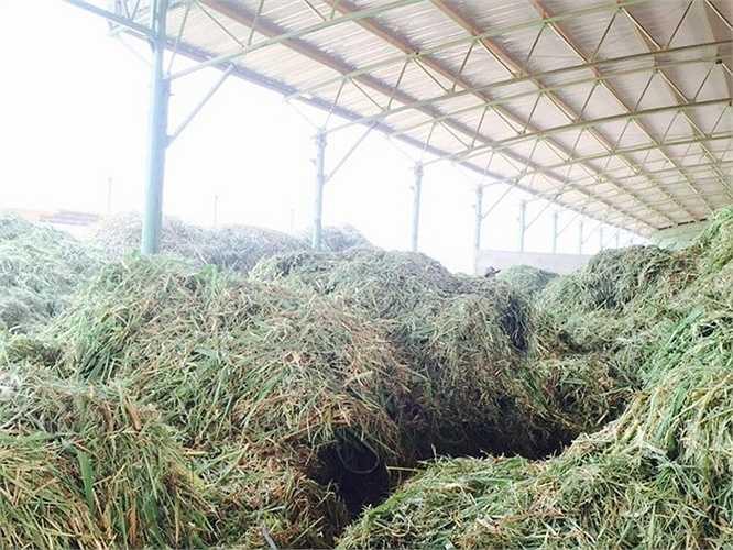 Cỏ sau khi được thu hoạch sẽ được đưa thẳng đến khu chế biến ngay trong trại nuôi bò