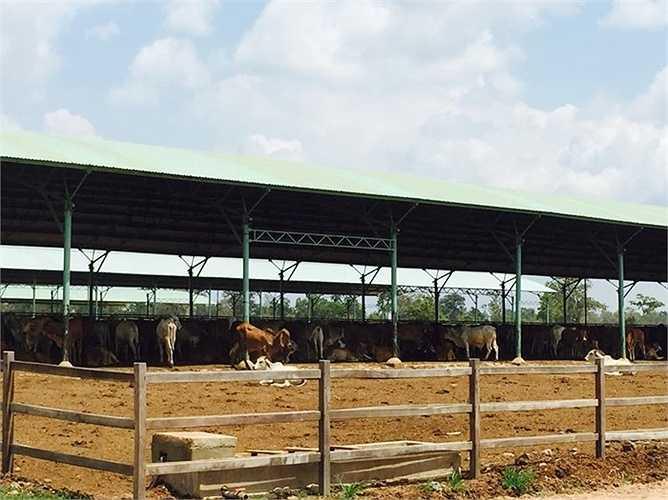 Quy mô chuồng trại ở đây khá hiện đại. Bò được nhập về từ khi cân nặng khoảng 180 - 260kg.
