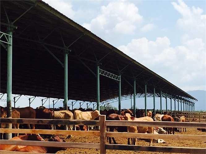 Bò giống sau khi được nuôi tầm khoảng 6-7 tháng sẽ cho cân nặng xuất chuồng dao động trên 500kg.