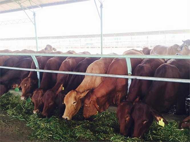 Thức ăn của bò cũng được chế biến bằng máy trộn hiện đại theo công thức chuẩn và được thức ăn cũng được rải tự động trên bằng xe. Mỗi ngày một con bò tiêu thụ hết khoảng 25kg thức ăn đã chế biến