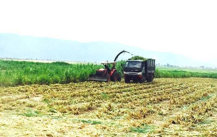 Diện tích trồng cỏ voi cho trang trại này cũng vào khoảng 1,5ha. Khoảng 2 tháng sẽ cho thu hoạch 1 lần. Cỏ voi đến kỳ thu hoạch cũng được thu hoạch bằng máy, vì vậy không tốn nhiều nhân lực mà năng suất lao động thì rất cao