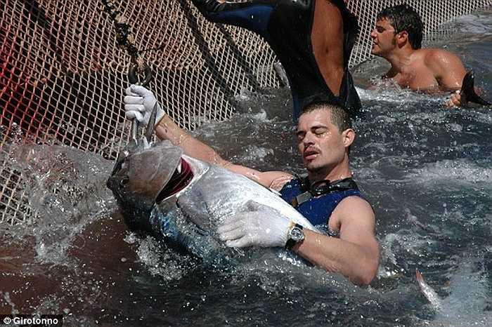 Được tổ chức hàng năm, nơi các ngư dân lão luyện tổ chức săn và làm thịt cá ngừ ngay trên biển