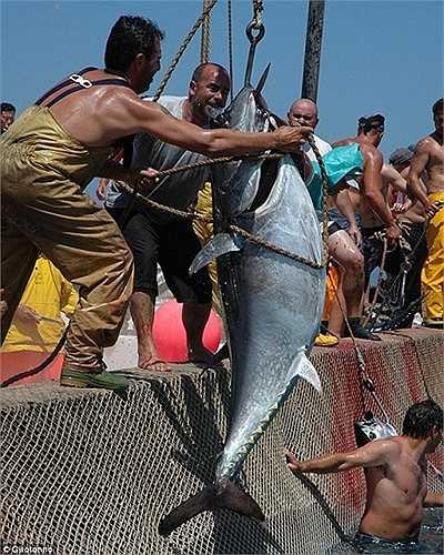 Những con cá ngừ khổng lồ được lôi lên từ biển