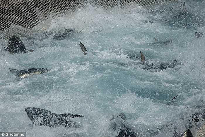 Đàn cá ngừ vùng vẫy trong lưới