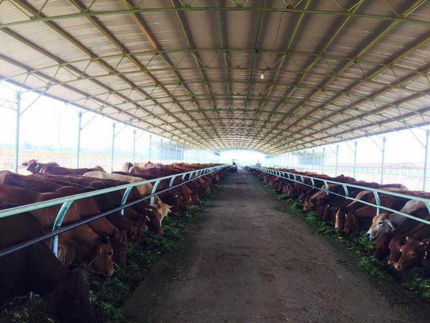Trang trại bò sữa rộng 1.500ha của bầu Đức tại Attapeu, Lào