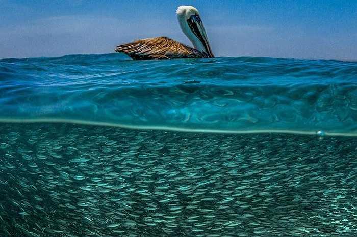 Nhiếp ảnh gia người Italia Lorenzo Mittiga đã  lặn xuống đại dương ở vùng Caribe để chụp lại những khoảnh khắc đẹp. Từng đàn cá bơi tung tăng trong khi bên trên chim bồ nông lượn lờ