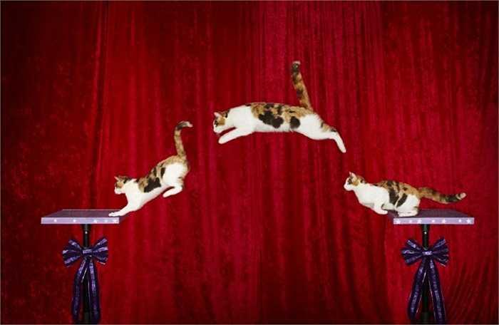 Chú mèo nhảy xa nhất thế giới. Một người phụ nữ ở Texas, Mỹ tên là Samantha Martin sở hữu chú mèo nhảy xa nhất với kỷ lục gần 2m cho một bước nhảy vào ngày 27/10/2013