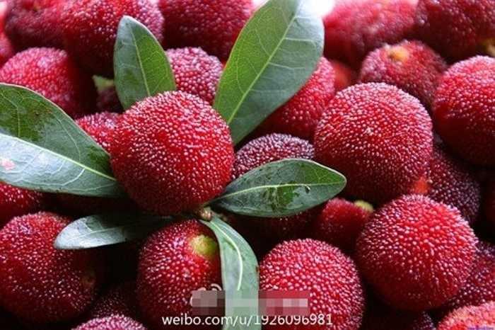 Theo những trang mạng Trung Quốc, quả thanh mai rừng được trồng phổ biến ở nhiều vùng đồi núi của nước này.