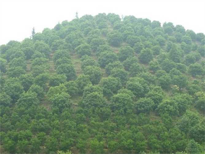 Loại quả này được trồng khá nhiều ở Vân Nam, khu vực phía tây tỉnh Quý Châu (Trung Quốc) trên những sườn núi dốc với độ cao 1.500 - 3.500m so với mực nước biển.