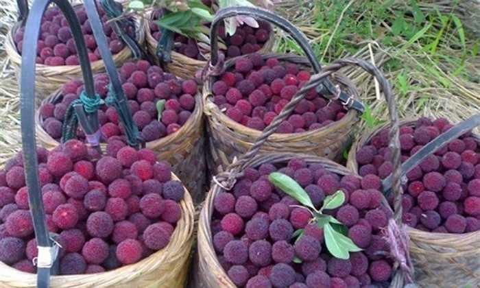 Ở Trung Quốc, loại quả này được bán với giá dao động từ 60.000 đồng - 240.000 đồng/kg tùy loại.