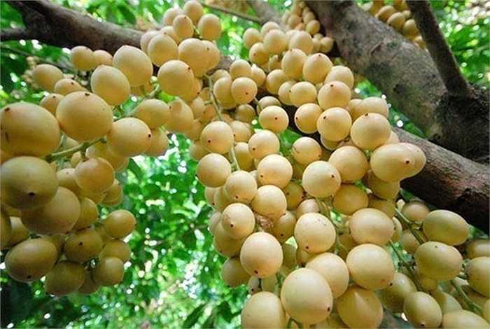 Các giống dâu da xanh, dâu bòn bon đang là thế mạnh của một số nhà vườn miền Tây. Loại quả nông sản này màu sắc rất đẹp, vị thanh mát nên nhanh chóng được nhiều người ưa thích. Bình quân mỗi cây dâu cho trái từ 200-300kg, cá biệt có cây lên 500 kg.