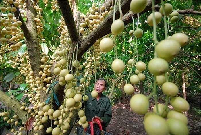 Nhờ trái cây này, người dân thu được lợi nhuận cao. Năm nào được mùa, dâu da có thể giúp người trồng thu được 90 - 100 triệu đồng/ha. Nhiều nhà vườn trồng dâu ở miền Tây nhạy bén kinh doanh, kết hợp cho khách du lịch tham quan, khám phá vườn dâu để tăng thu nhập.