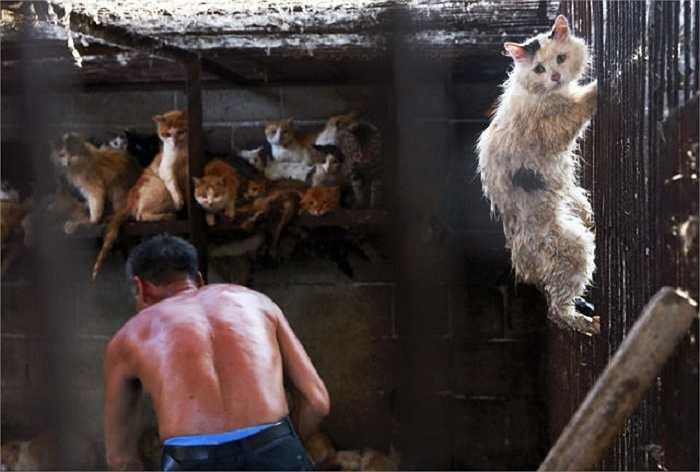 Những con mèo bị nhốt trong lồng chuẩn bị làm thịt