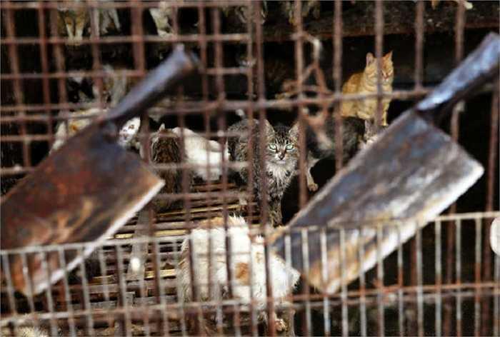 Hàng chục ngàn con chó mèo các loại bị bắt trộm từ các gia đình và được đưa đến các lò mổ gần thành phố trước lễ hội