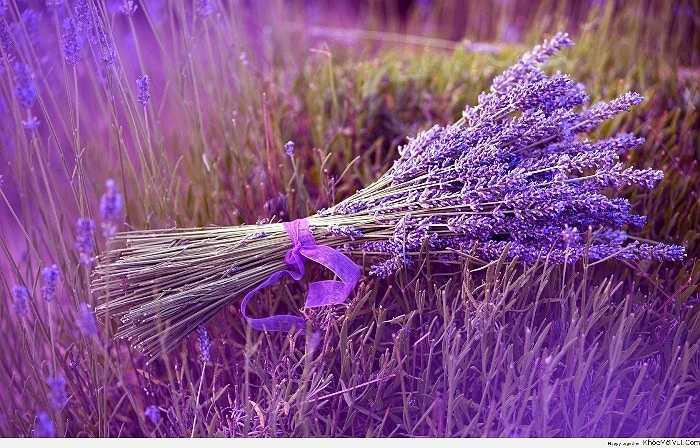 Không chỉ là loại hoa màu tím tuyệt đẹp, oải hương còn là một trong những phương pháp chống muỗi tự nhiên. Mùi oải hương quyến rũ nhưng lại không được muỗi và một số loài côn trùng ưa thích.