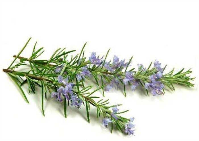 Nếu có điều kiện, bạn nên trồng vài chậu hương thảo, vừa làm đẹp nhà, vừa làm sạch không khí, đồng thời có tác dụng đuổi muỗi.